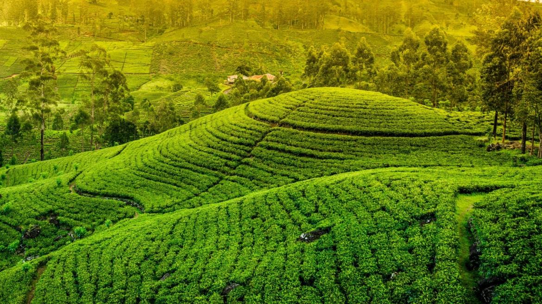 Çayın Tarihi
